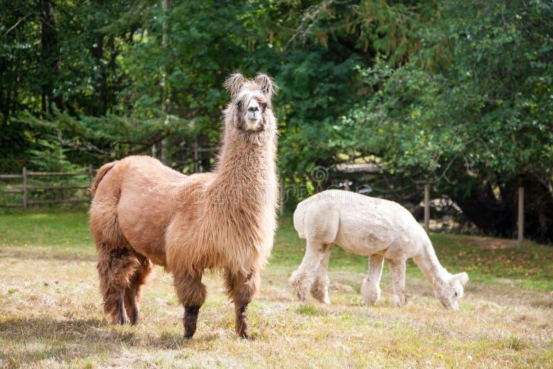 Lama op de weide stock afbeelding