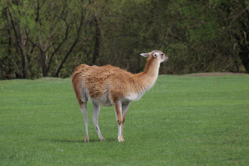 Lama. Outdoors nibbling the green grass stock images