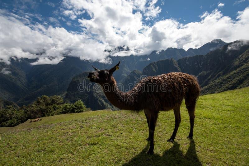 Lama på Machu Picchu Peru royaltyfri bild