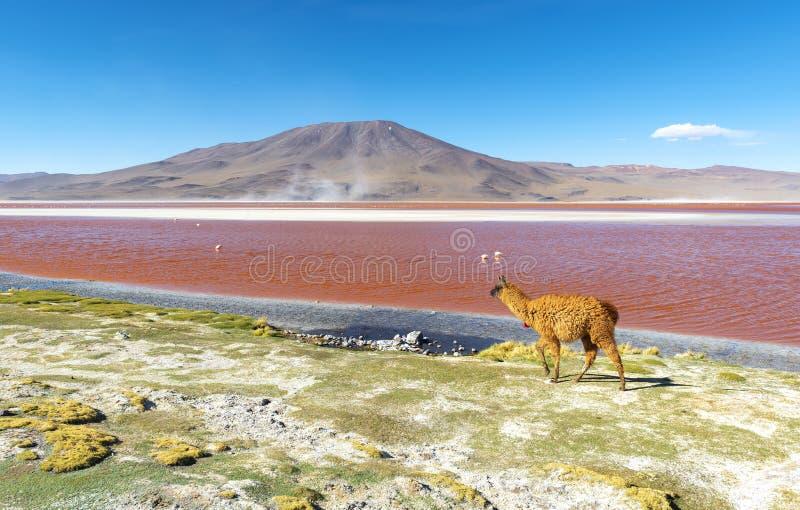 Lama par la lagune rouge Laguna Colorada, Bolivie image libre de droits