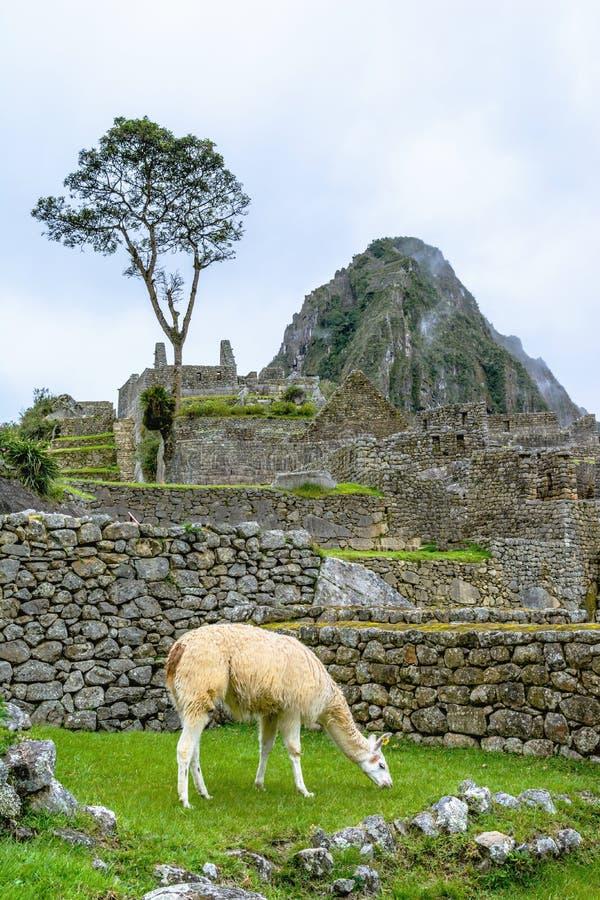 Lama pasanie przy Machu Picchu- Incas ruinami w Andes, Cuzco region zdjęcia stock