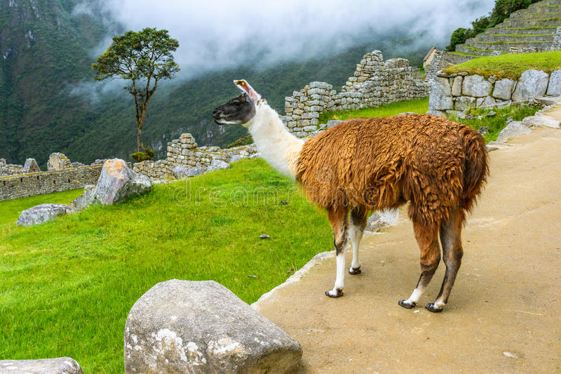 Lama pasanie przy Machu Picchu- Incas ruinami w Andes, Cuzco region obraz royalty free