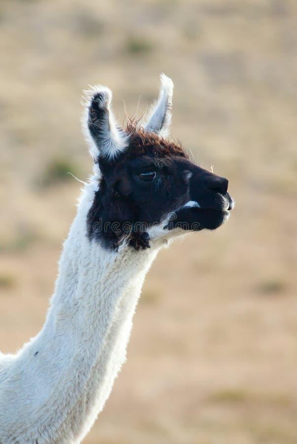 Lama Patagonian immagini stock