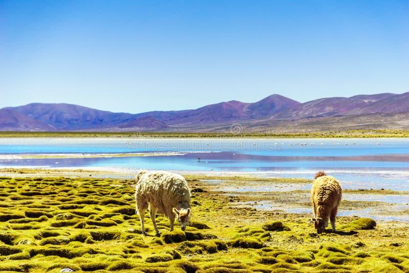 Lama pela lagoa da montanha no Altiplano em Bolívia fotos de stock royalty free