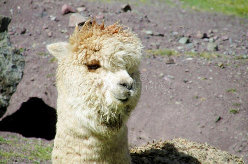 Lama peludo e retrato da alpaca foto de stock royalty free