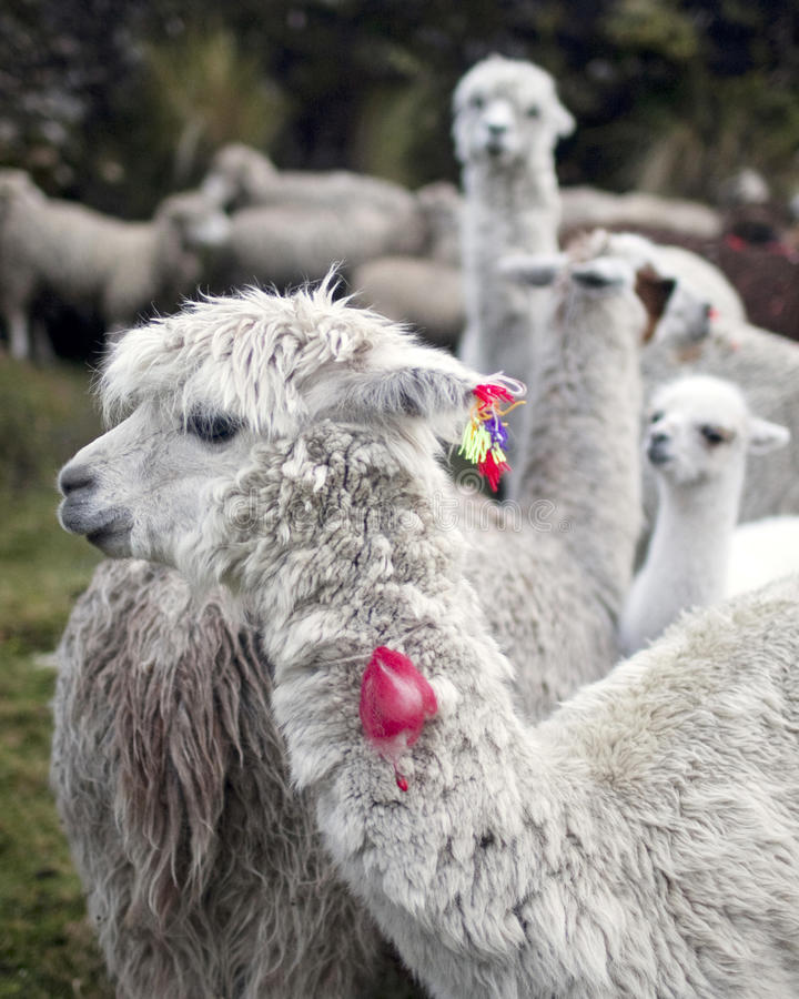Lama, Peru lizenzfreie stockfotografie