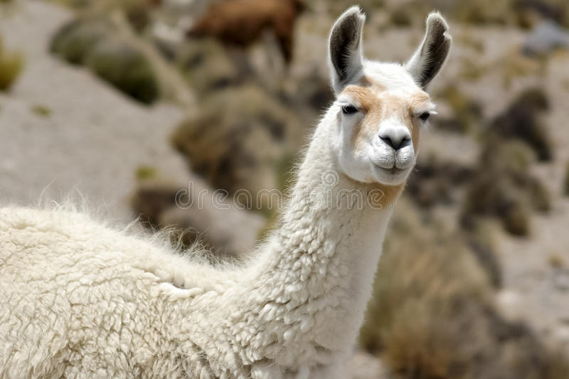 Lama, Peru stockbilder
