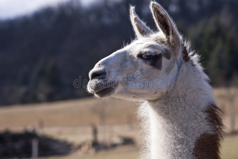 Lama-Portrait stockfotos
