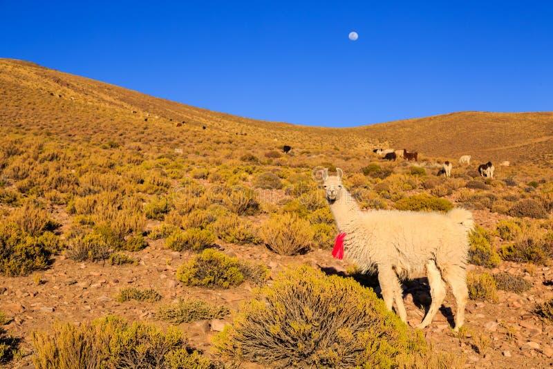 Lama pozycja w pięknym południu - amerykański góra krajobraz przy zmierzchem zdjęcie royalty free