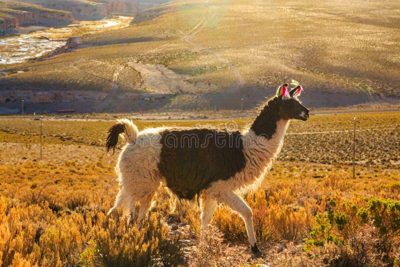 Lama pozycja w pięknym południu - amerykański góra krajobraz przy zmierzchem obraz royalty free