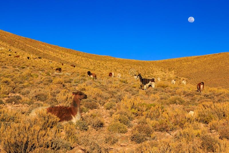 Lama pozycja w pięknym południu - amerykański góra krajobraz przy zmierzchem fotografia stock