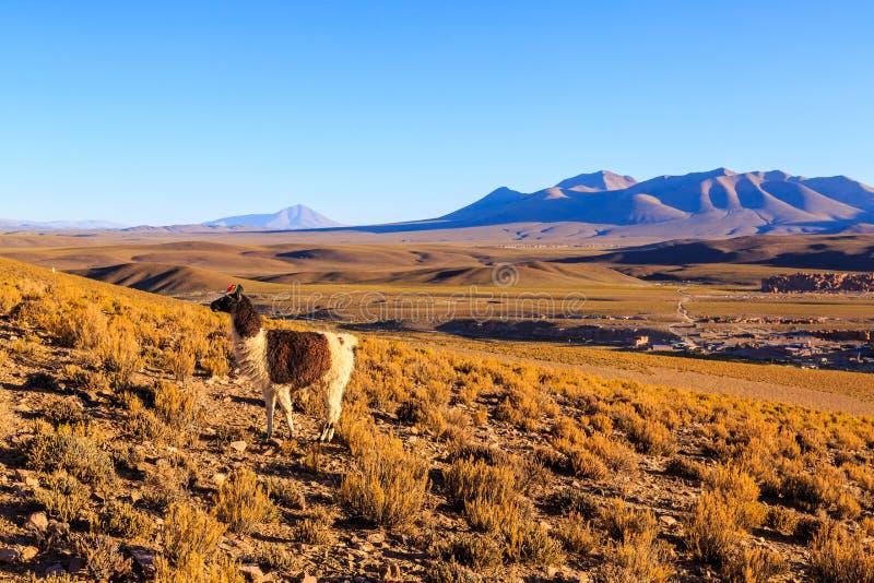 Lama pozycja w pięknym południu - amerykański góra krajobraz przy zmierzchem zdjęcia stock