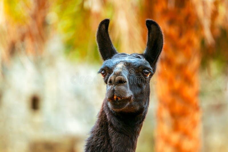 Lama preta que come a grama no fundo de pedra imagem de stock royalty free