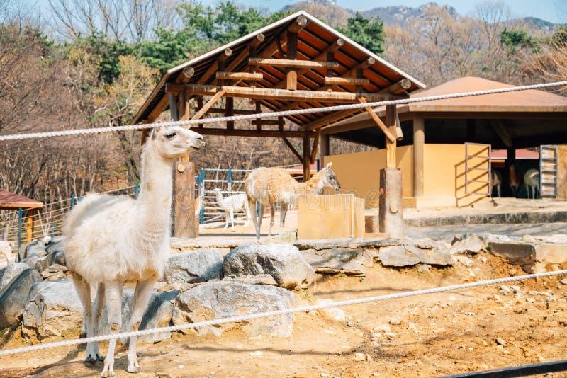 Lama przy Seul uroczystym parkowym zoo w Gwacheon, Korea zdjęcia stock