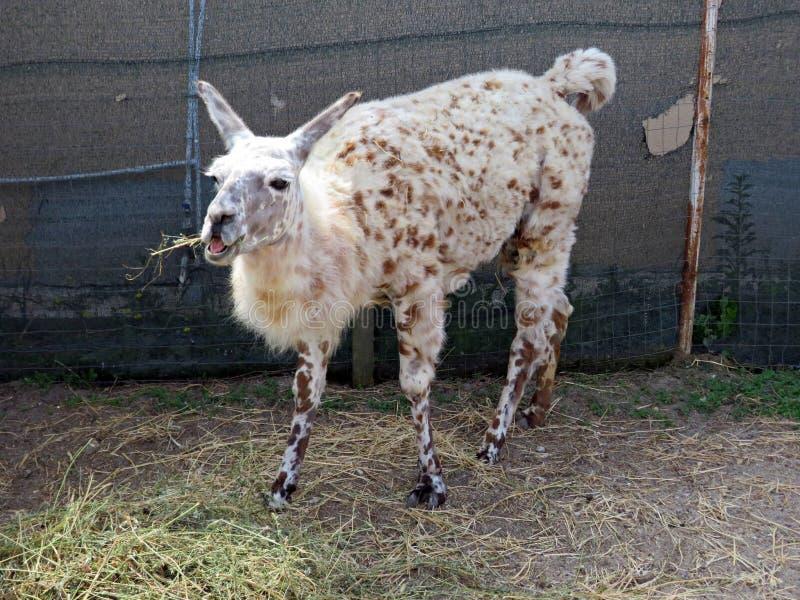 Lama przy zoo łasowania sianem obraz stock