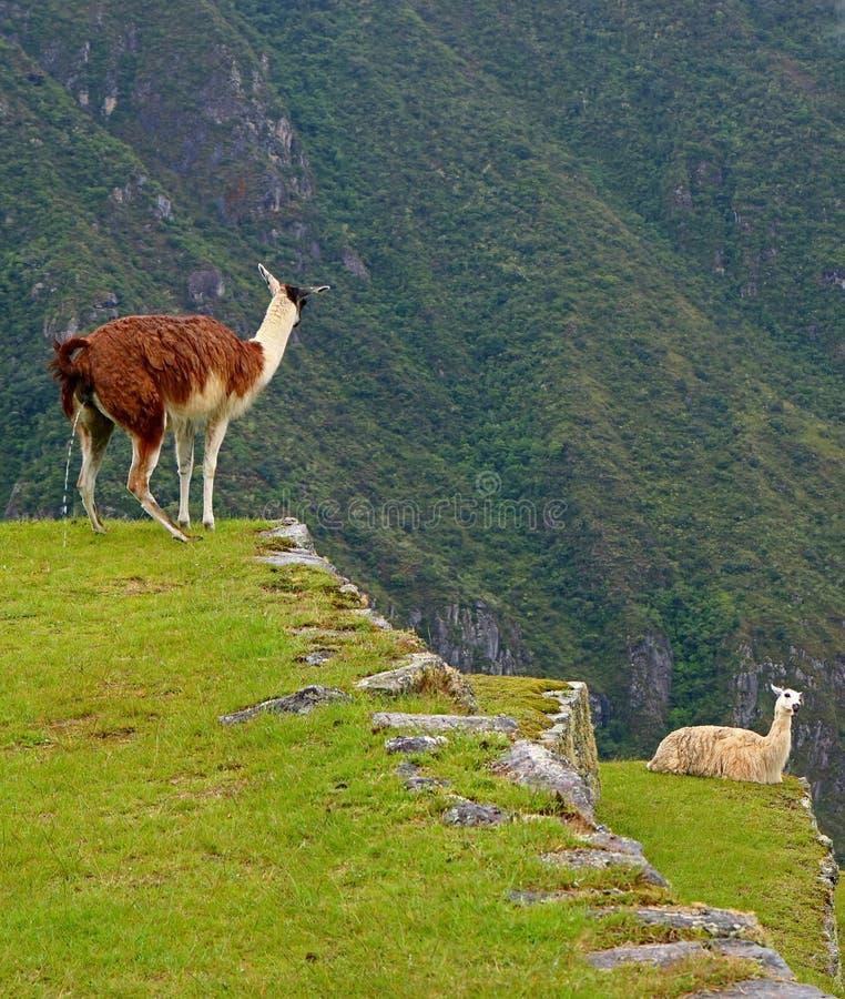 Lama que faz xixi livremente no terraço agrícola de Machu Picchu Inca Citadel, Cusco, Peru fotografia de stock royalty free