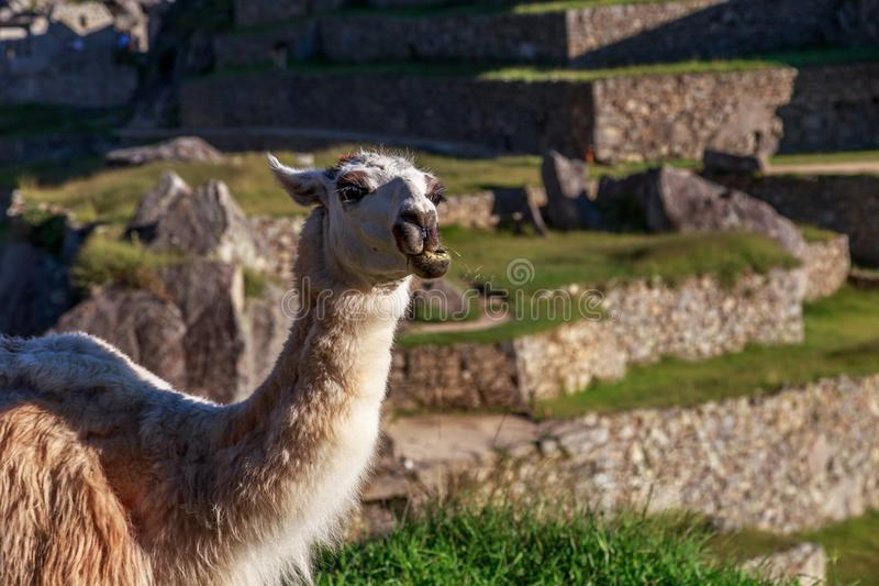 Lama que mastiga a grama com o terraço de Machu Picchu como vagabundos imagens de stock