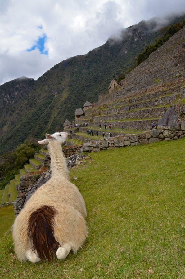 Lama que olha ruínas de Machu Picchu imagens de stock royalty free