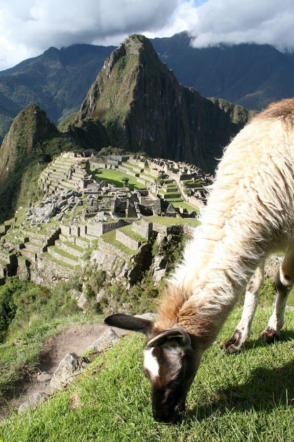 Lama que pasta sobre Machu Picchu fotos de archivo