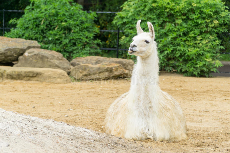 Lama que senta-se para baixo foto de stock royalty free