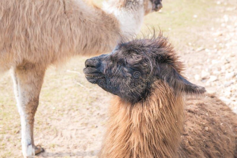 Lama in Raksi-dierentuin Grijs-haired, afluisteraar Reisfoto 2019 stock foto