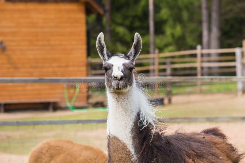Lama relaksuje w wiosna słonecznym dniu obraz royalty free