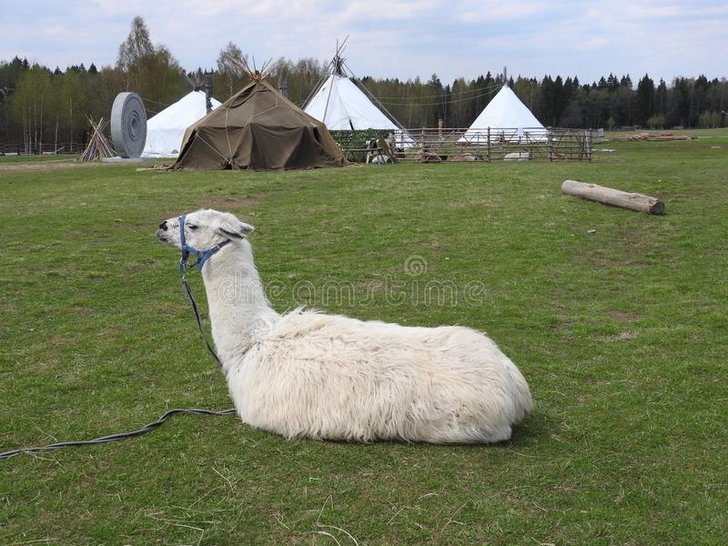 Lama resting on a green meadow and eating on a clear Sunny day royalty free stock photography