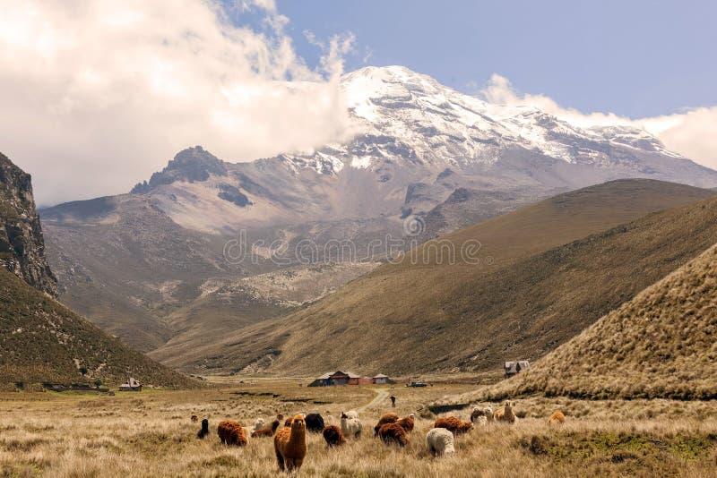 Lama's die, Chimborazo-Vulkaan, Zuid-Amerika weiden royalty-vrije stock foto