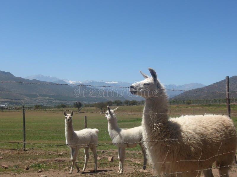 Lama's in Limari-Vallei royalty-vrije stock foto's