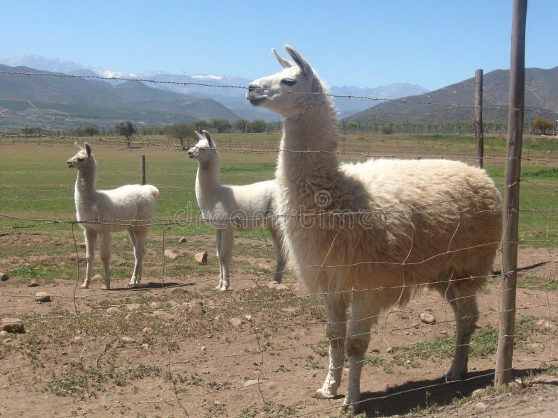Lama's in Limari-Vallei stock foto