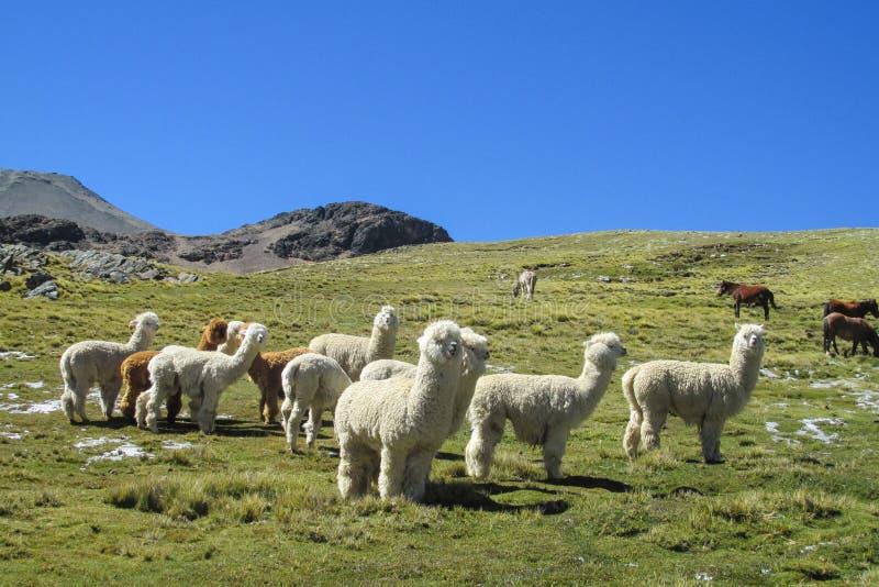 Lama's op groene weide royalty-vrije stock foto