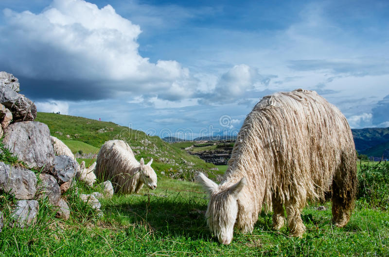 Lama in Sacsayhuaman in Cuzco, Peru royalty-vrije stock foto's