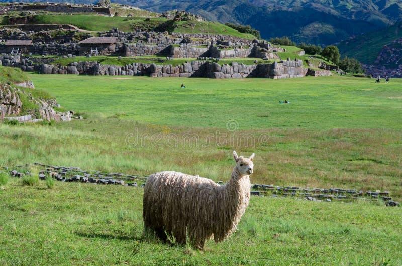 Lama in Sacsayhuaman, Cuzco, Peru stock afbeeldingen