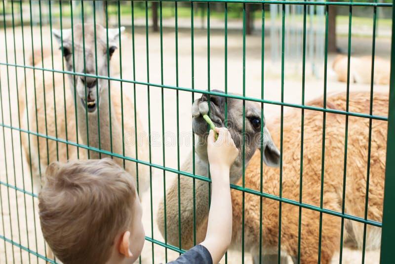 Lama som äter ut ur handen av en pojke arkivbilder