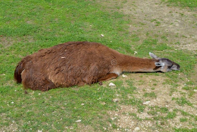 Lama som kopplar av på gräset med sunsine royaltyfri bild