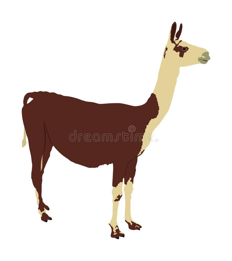 Lama standing vector illustration isolated on white background. Llama portrait isolated. Wild animal from America. stock illustration