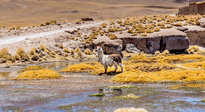 Lama am Sumpf im Sonnenschein Bolivien stockfotos
