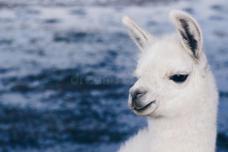 Lama sur Laguna Colorada, Bolivie image stock