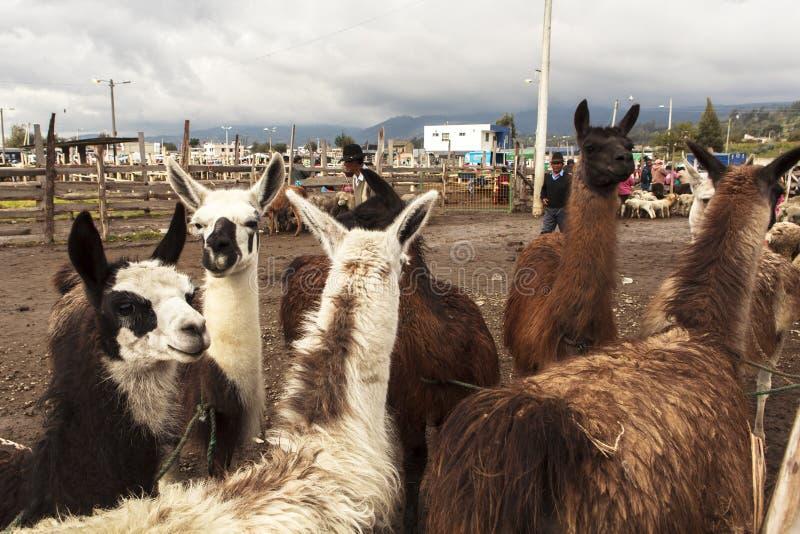 Lama in Tiermarkt Saquisili in Quito lizenzfreie stockfotografie