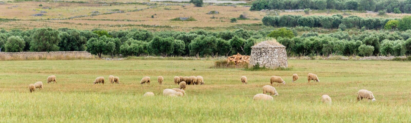 Lama Trullo i sheeps w wsi Salento Włochy zdjęcie stock