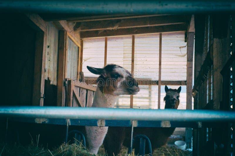 Lama twee in de dierentuin Kijkend binnen lama's in de winter stock afbeeldingen