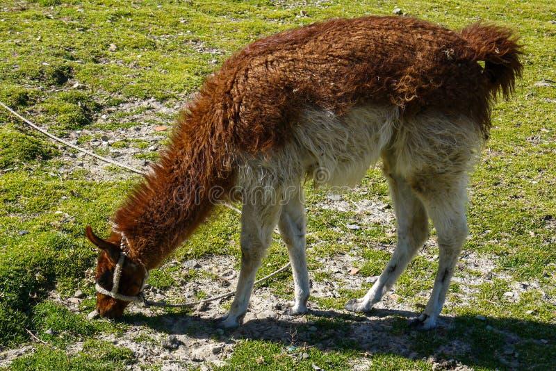 Lama in un campo di Salar de uyuni in Bolivia fotografie stock libere da diritti