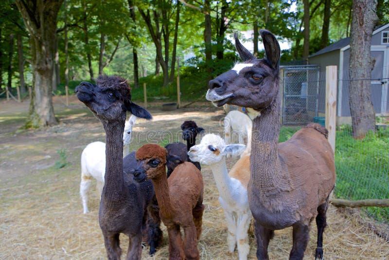 Lama und Alpakas stockfotos