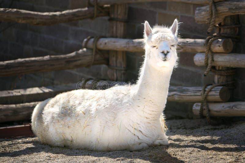Lama w słońcu Sunbathing - słoneczny dzień - zdjęcia royalty free