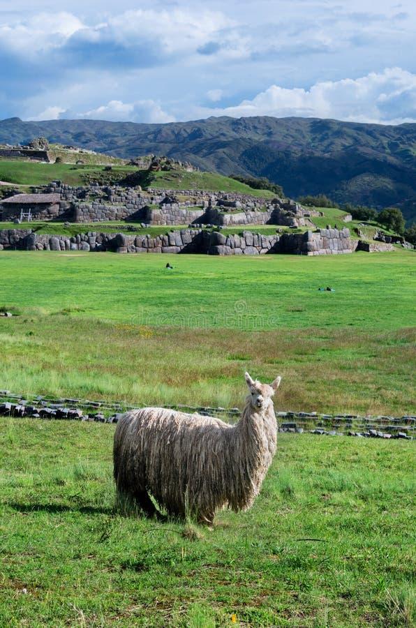Lama w Sacsayhuaman w Cuzco, Peru zdjęcie stock