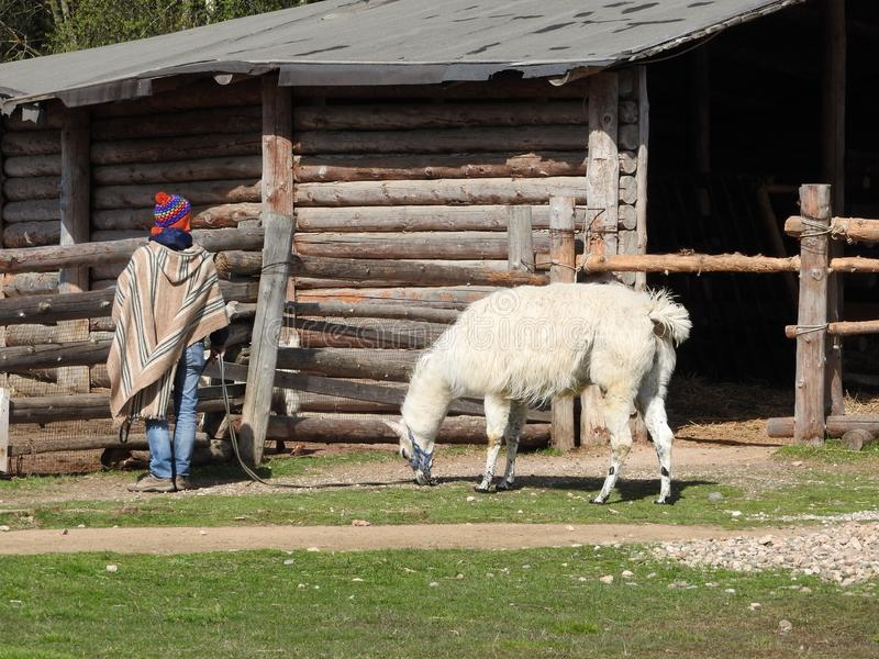 Lama walks on the lawn with a shepherd on a clear day royalty free stock photos