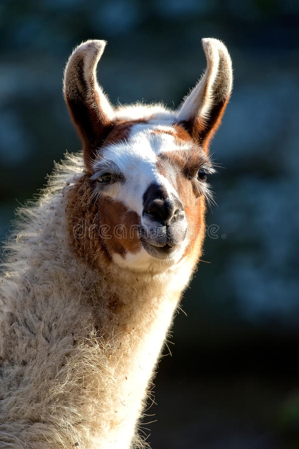 Lama in the wild royalty free stock photo