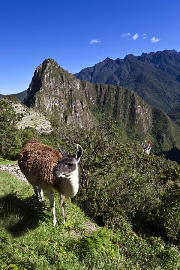 Lama y ruinas de la ciudad perdida Machu Picchu del inca en Perú - Suramérica foto de archivo libre de regalías