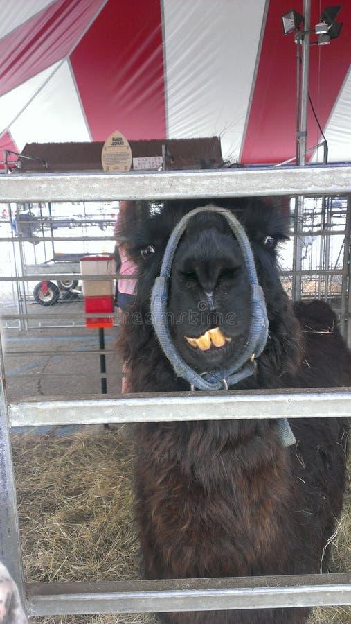 Lama zęby zdjęcia stock