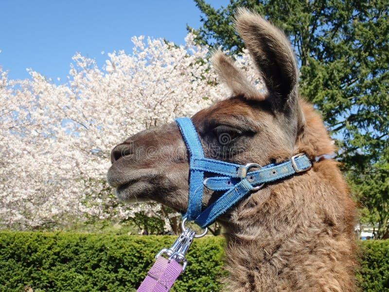 Lama Z Czereśniowymi okwitnięciami w wysokość parku, Toronto obraz royalty free